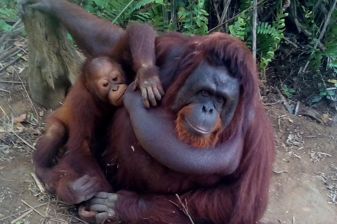 """The Land Of Grace """"Ipoh"""" + Orang Utan Island + Lunch (Private Guided Tour)"""