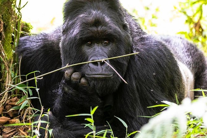 3 days Rwanda gorillas and golden monkeys tracking tour photo 6