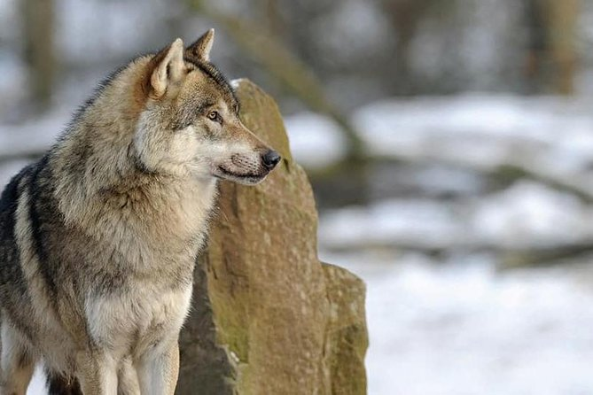 Wolves of Rome: Together we will get to know them better