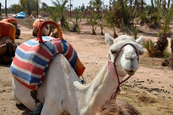 Marrakech Guided Tour From Casablanca With Camel Ride