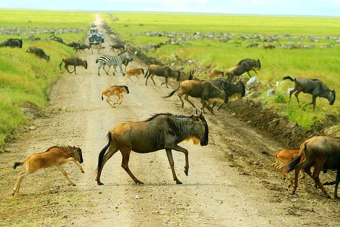 Lets Rumble In The Jungle - 6 Days Calving Migration Serengeti