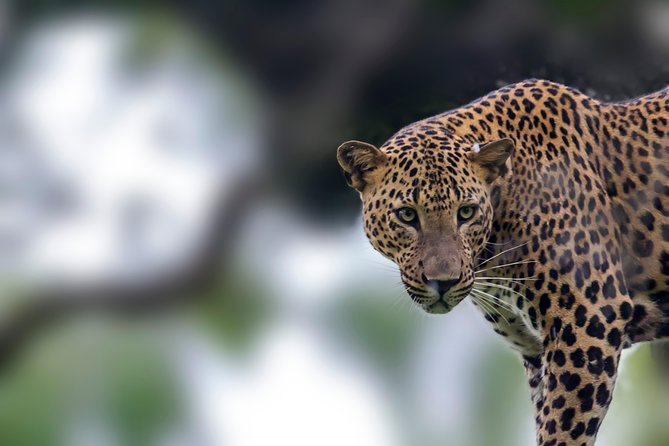 Leopard Safari Tour in Yala National Park photo 2