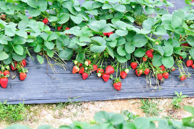 Strawberry Picking ,Nami Island ,Petite France & The Garden of Morning Calm Tour photo 1
