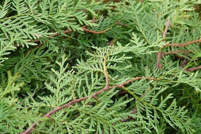 nature walk bald cypress leaf