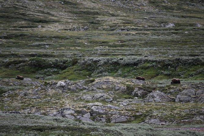 Musk Ox Safari from Hjerkinnhus
