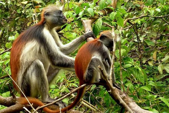 Jozani Forest Sightseeing Tour