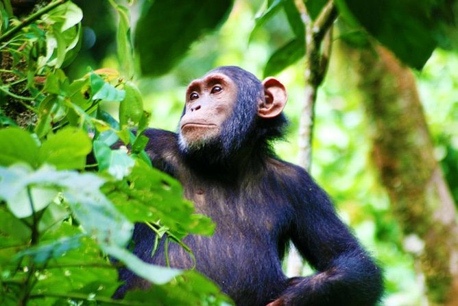 3 Days Chimpanzee Experience In Kibale national park photo 4