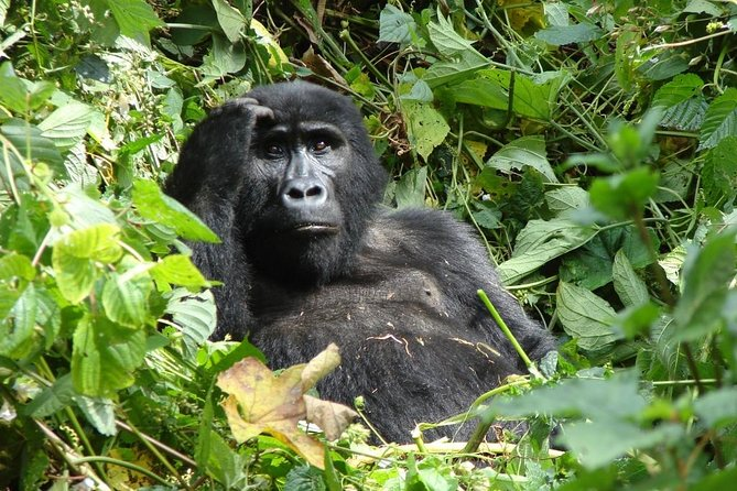 6 Day Gorilla tracking and Wildlife Safari