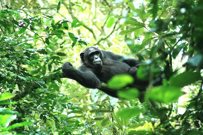 3 Days Chimpanzee Experience In Kibale national park photo 1
