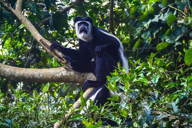 Black and white colobus monkey in the trees
