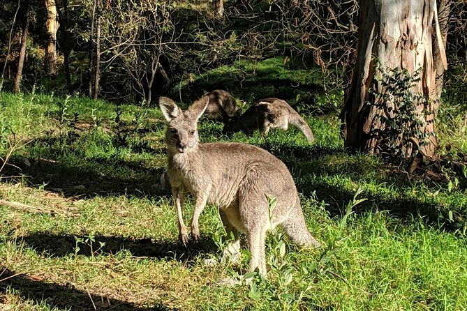 Blue Mountains Private Tour - wild kangaroos, waterfalls and The Three Sisters