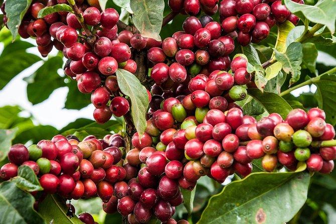 Nairobi Coffee Farm and Factory Tour