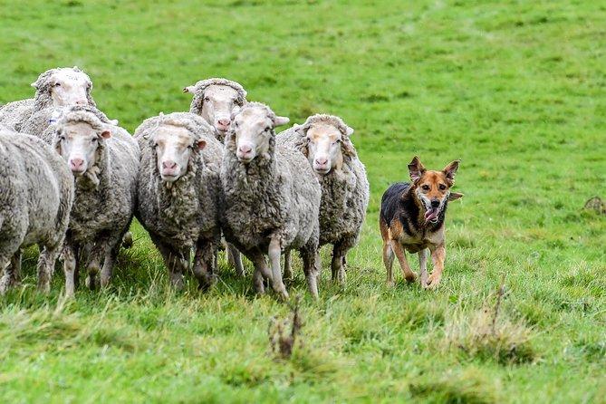 Round up the merino sheep