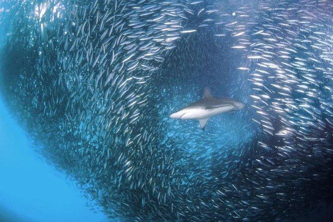 Whale Shark & Tumalog Falls & Sumilon Sandbar & Pescador Island with Sardines