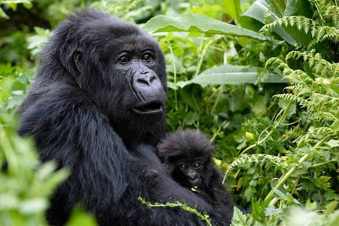 3 Days Mountain Gorilla Safari