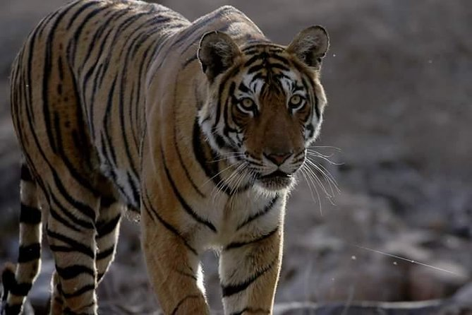 Ranthambore Tiger Safari With Taj Mahal