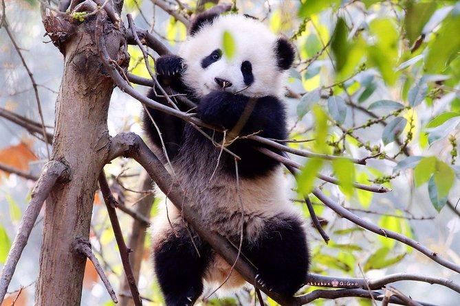 Tour di panda privato di mezza giornata con pranzo vegetariano in convento