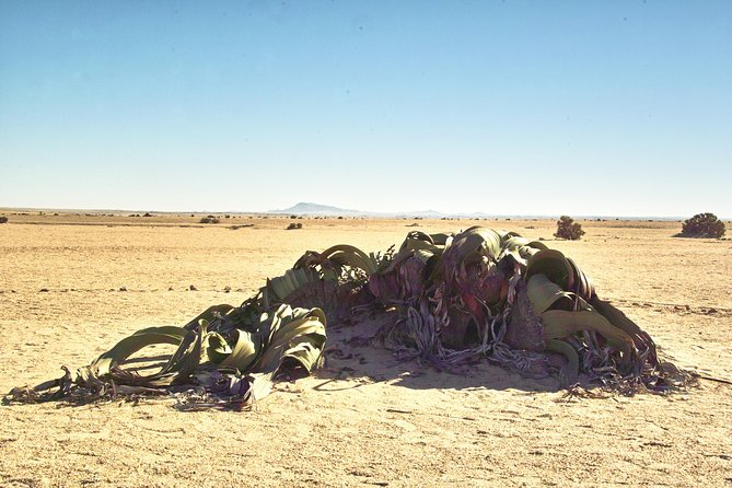 Moon Landscape and Welwitschia Off-Road Half-Day Tour from Walvis Bay photo 13