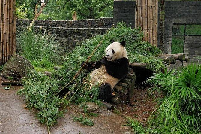 Chengdu panda base and city 1 day tour