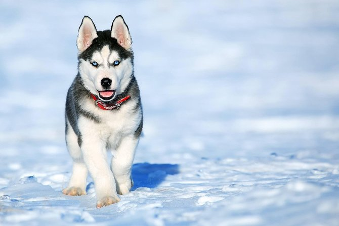 Best Husky sledding private tour in Rovaniemi
