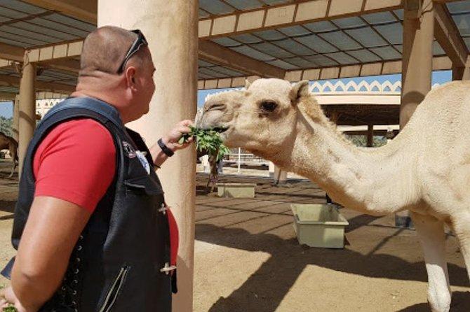 Bahrain Camel tour