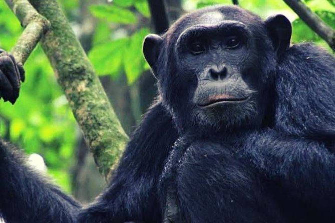5 Days Gorilla & Chimpanzee Trekking Safari