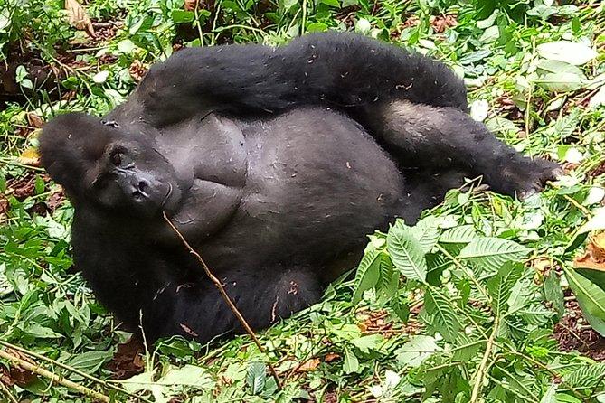 7 Day Lowland GorillaTrekking DR. Congo, Chimps & Golden Monkey Rwanda