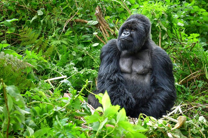 Gorilla Tracking in Bwindi NP (Uganda) photo 2