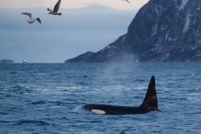 Excursion d'observation des baleines en Laponie au départ de Tromsø