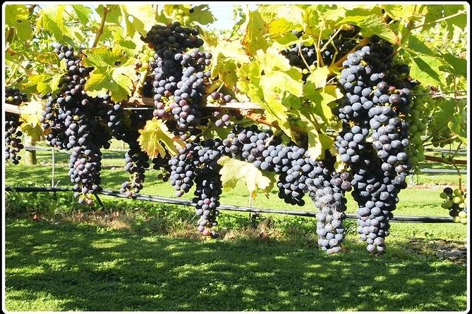 Short Tour of Picton and Blenheim Wine Regions