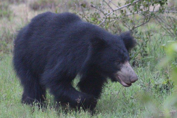 soath bear