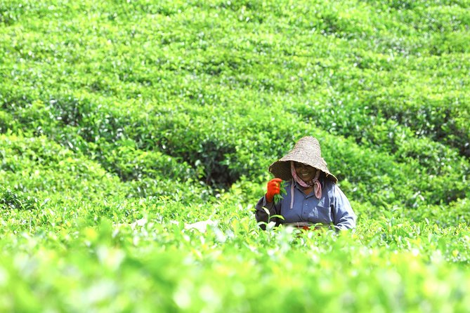 Full Day Guided Tour: Authentic Tea Route & Wonders of the South