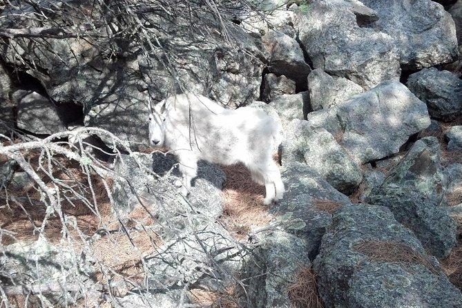 Mountain Goat near Mount Rushmore