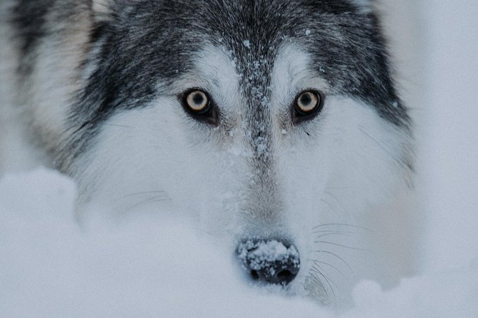 Meet Taivas and the Wolfdogs