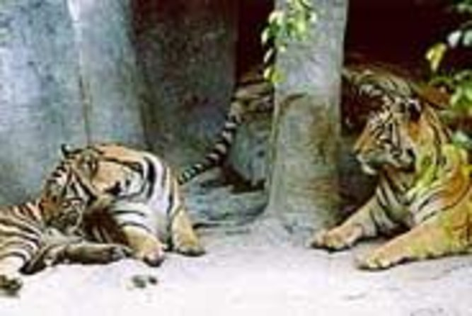 Tiger Zoo Tour ab Pattaya inklusive Mittagessen