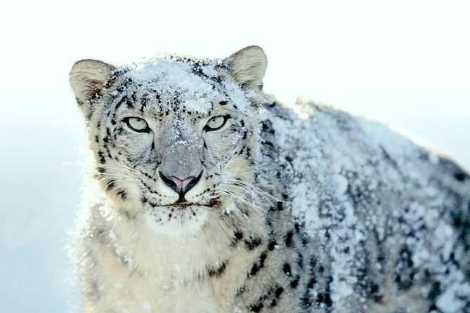 Snowleopard tour in Ladakh