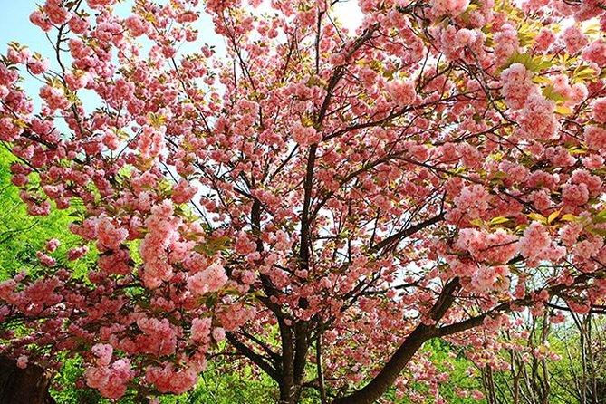 Spring 7 days Cherry Blossom Jeju&Busan&Gyeongju&Seoul on 31 Mar to 10 Apr