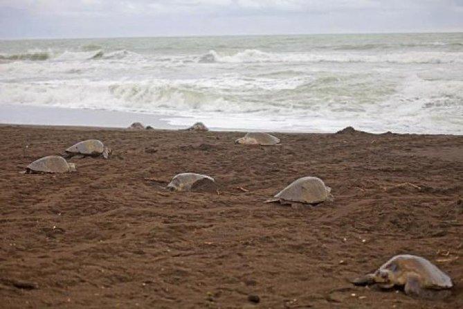 Turtle Nesting in Camaronal Refuge
