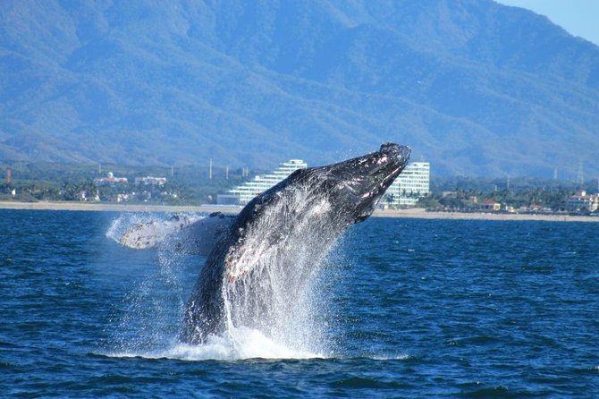 Whale Watching The Best Of Puerto Vallarta
