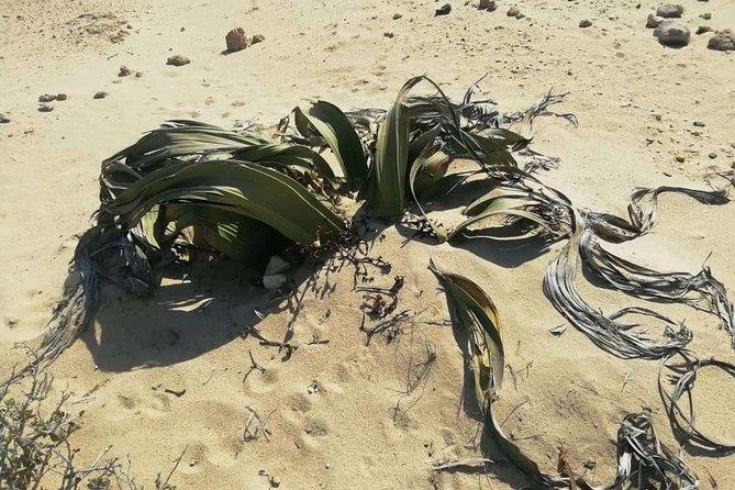 Welwitschia Moon landscape & Namib Desert Dune 7 Private Day Tour