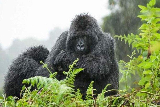 6 Days Gorillas, Chimps, Big 5 & Big Cats Safari