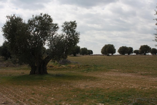 Visit olive grove centenary with oil tasting course