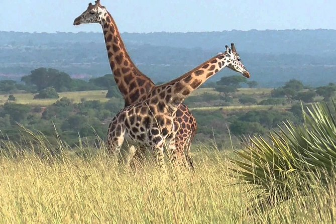 6 Day Uganda Safari in Murchison Falls and Bwindi Impenetrable Park photo 17