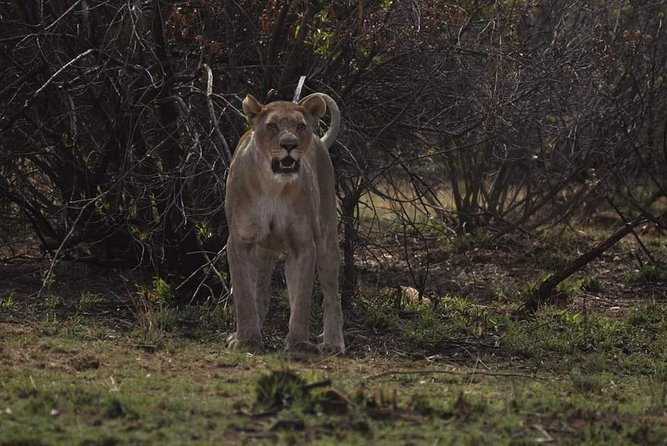 Kruger Lion Expedition with the Little Lionman Steve Kelly photo 19