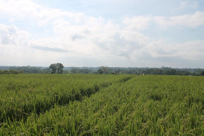 Bongkasa Village Trekking with Rice Paddy views