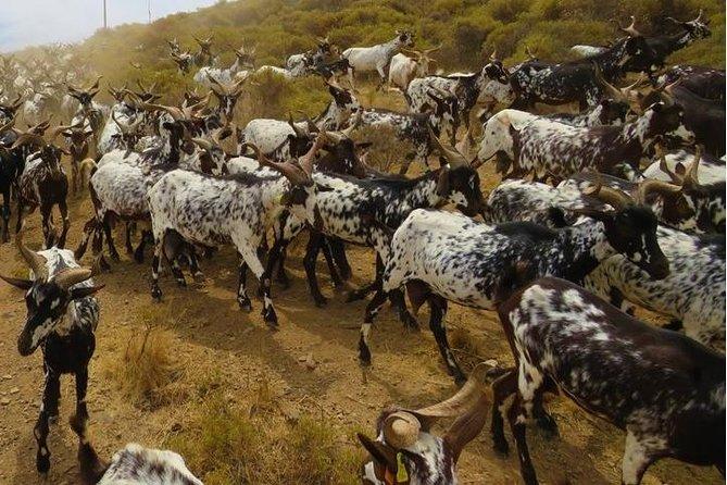 Algarvian Goat Herding