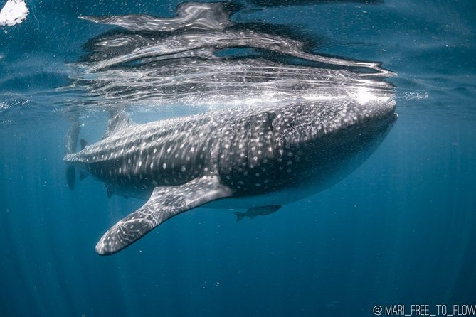 Whale Shark Swimming Adventure in Cancun - Seasonal June/Sept