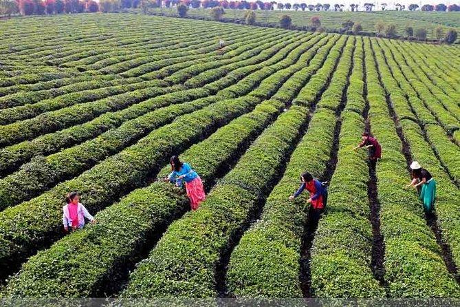 Tea Picking Experience Stroll around Tea Horse Road(start from Chengdu)