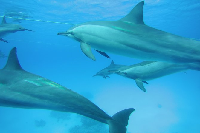 Swim with Dolphins in Satayeh Reef Snorkel Sea Excursion - Marsa Alam