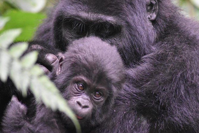 Three Days Gorilla Safaris In Uganda